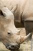 Rhino Hunger