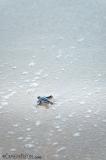 tartaruga-marinha-em-Trinidad-e-Tobago-18-