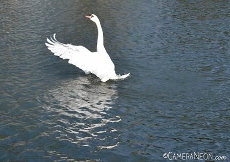 bird, cisne, como tirar fotografia, curso de fotografia, curso de fotografia grátis, curso de fotografia online, curso online de fotografia grátis, fotografia, histograma, histograma de fotografia, lago, lake, Rio Tâmisa, swan, Thames River